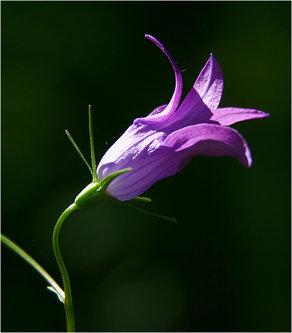 AlenS Spring flower