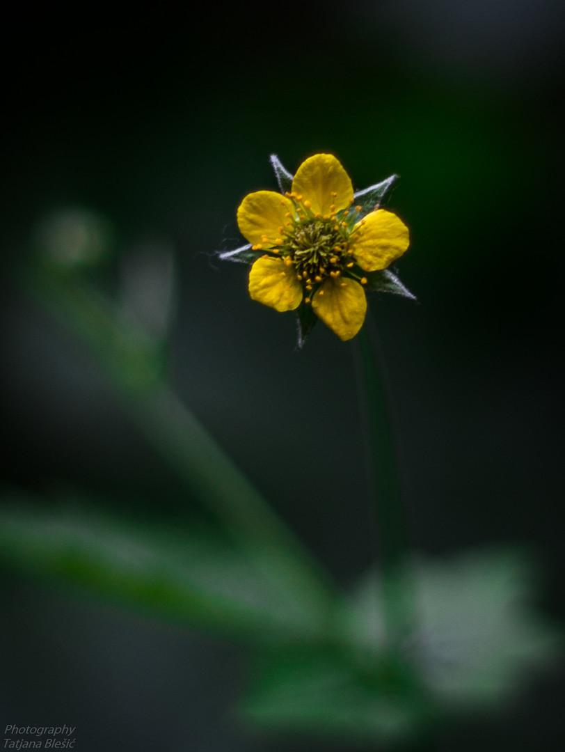 Zuti cvetic