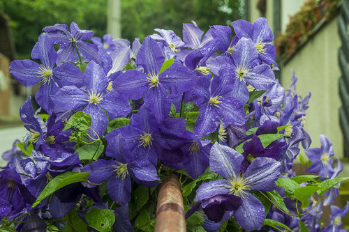 BlueSabbath Cveće na ogradi