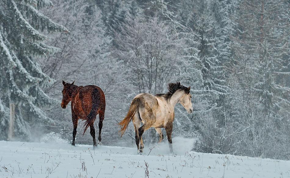 Konji koji jure