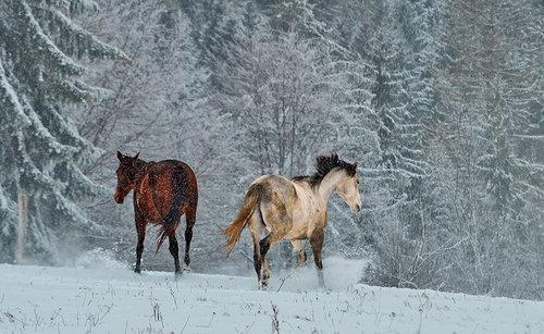 Brkica956 Konji koji jure