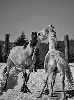 Brkica956 Igra konja