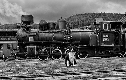 Brkica956 Pas koji je voleo vozove.
