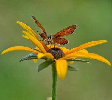 Brkica956 leptir