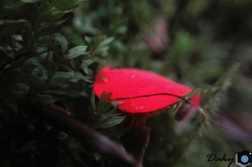 Dakyg latica