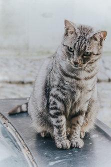 Danuberiverchild mačak