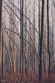 Danuberiverchild šuma