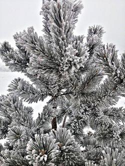 Djole777 Pine tree
