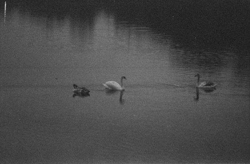 Drama Labudovo jezero....