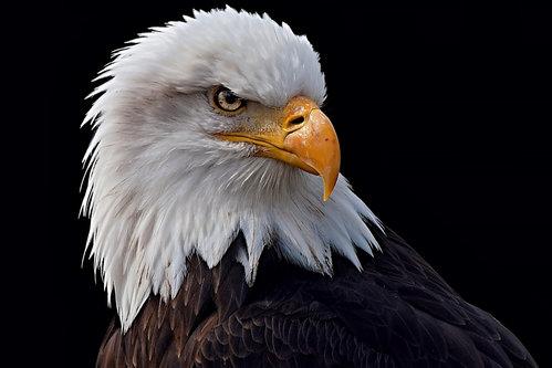 Drrado Eagle