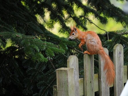 Drrado veverica