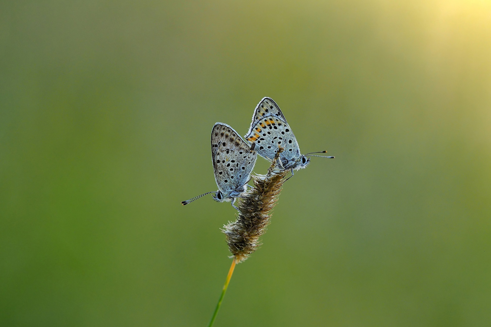 common blue by love