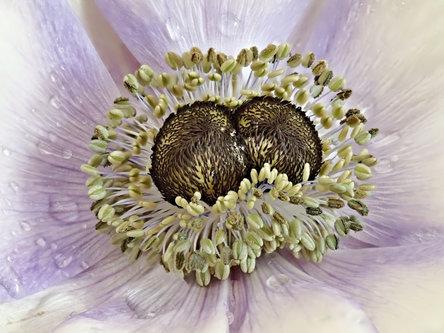 Drrado anemone