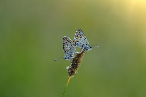 Drrado common blue by love