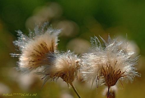 Drrado dandelion