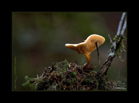 Drrado fungi