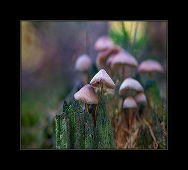 Drrado fungi family