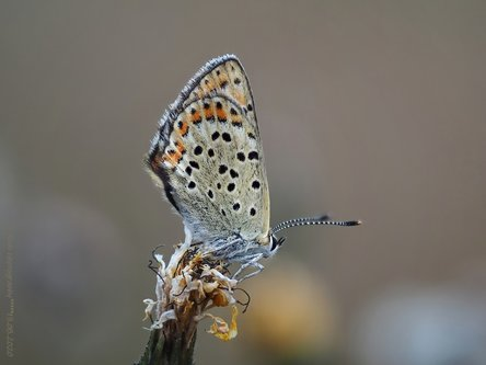 Drrado lucaena tityris