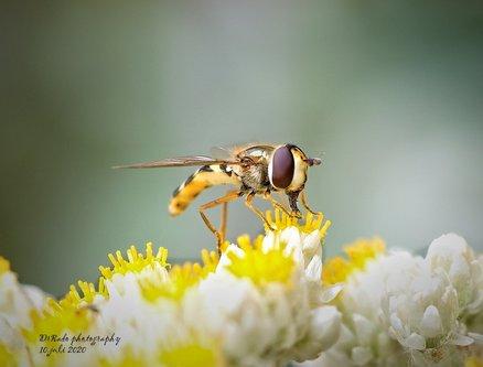 Drrado osolika muva