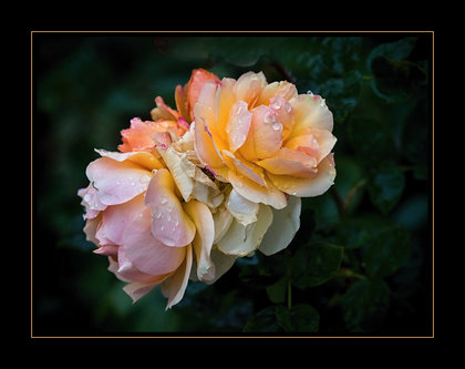 Drrado ruže u oktobru