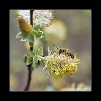 Drrado vratile se pčele