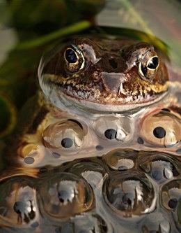 Drrado žabac