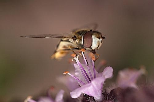 Drrado Syrphidae