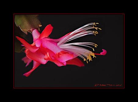 Drrado kaktusčić