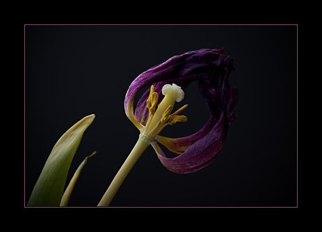 Drrado tulpe