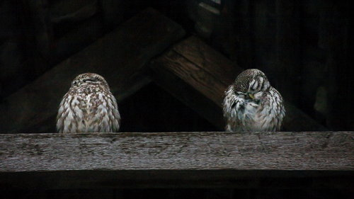Dzanster Two little owls 2