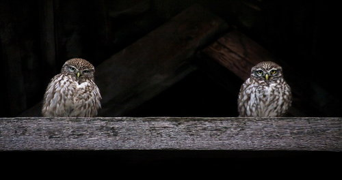 Dzanster Two little owls