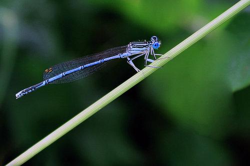 GoranKulezic Dragonfly