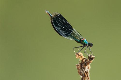 GoranKulezic Odonata - dragonfly