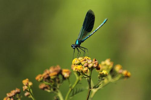 GoranKulezic (Odonata) - dragonfly