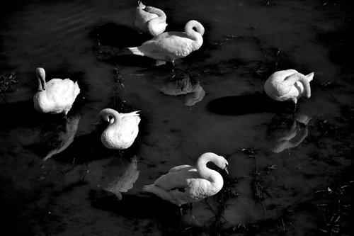 IsakovD swans