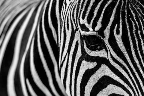 Ivanbor030 Zebra