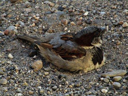 Jekisa Sparrow