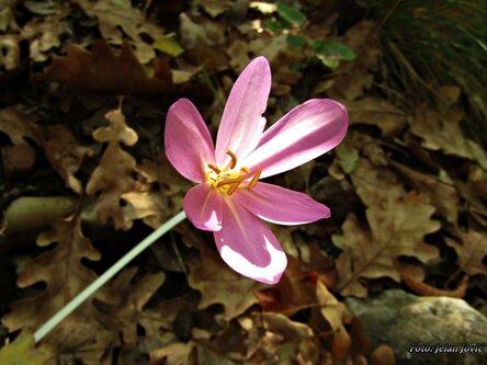 Jekisa Flower