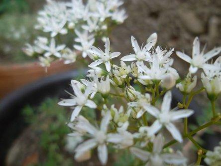 Julijana flower