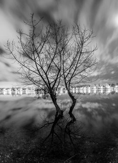 Klikonja Drvo