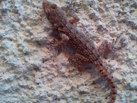 Krisstalcic Lizard Reptile