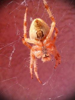 Krisstalcic Spider