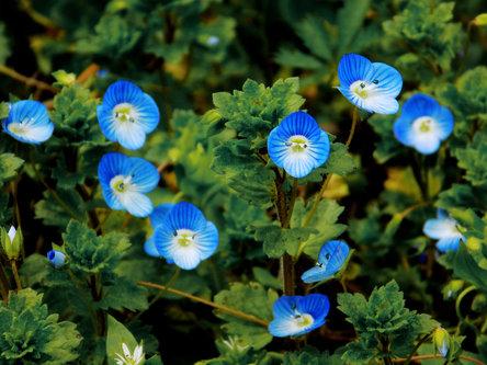 Krisstalcic Blue flowers