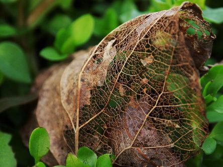 Krisstalcic Leaf