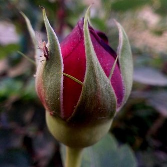 Krisstalcic Roses