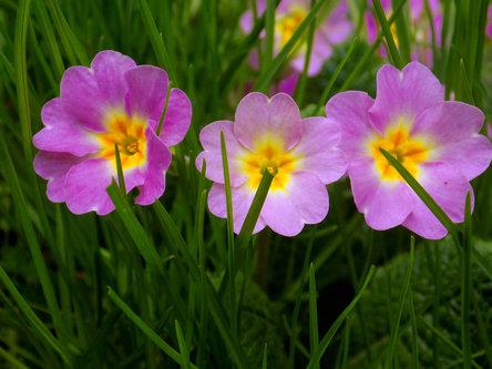 Krisstalcic Violet flowers