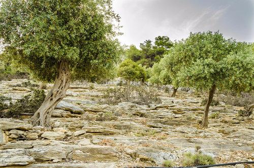 LesaBg Maslina u kamenu
