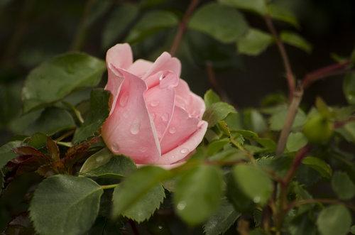 LesaBg Rosa