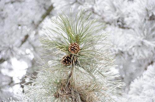 LesaBg pinecone