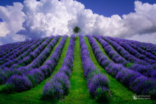 LightHunter Lavanda ...